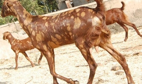 Goat Farming In Chhattisgarh Information | Goat Farming
