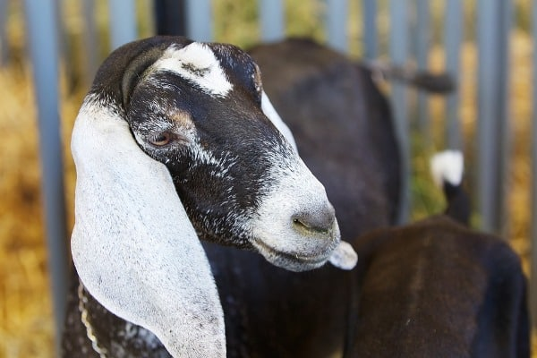 Goat Diseases and Vaccinations.
