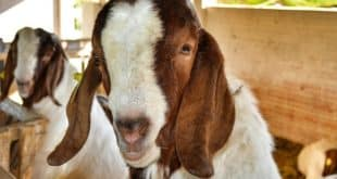 Goat Farming in Tamil Nadu For Beginners | Goat Farming