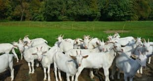 Goat Farming In Gujarat.