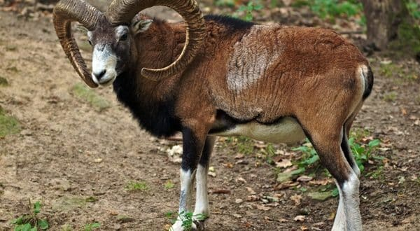 Altai Mountain Goat (Pic Wikimedia Commons).