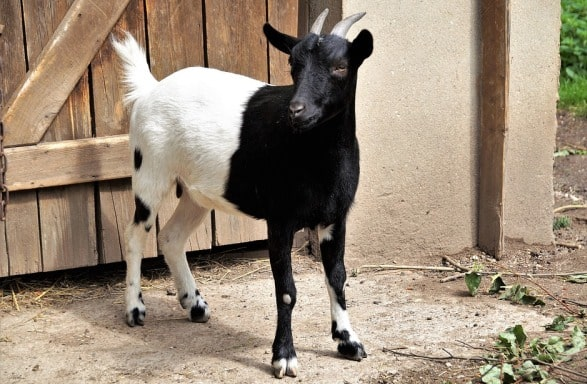 Goat Farming Importance.