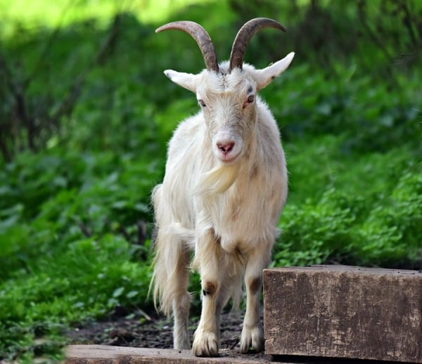 Goat Farming Tips.