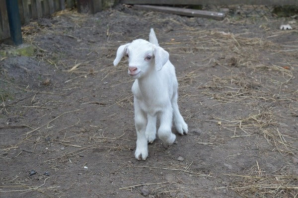 New Born Goat Kid.