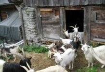 Building a Cheap Goat Shed.